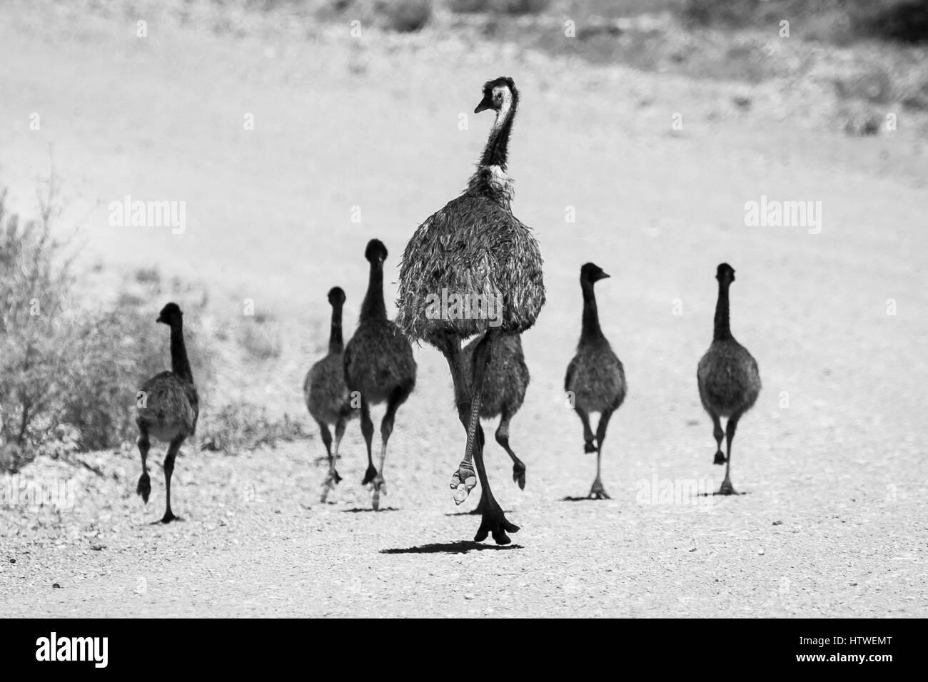 Emu - Australia - Stock Image