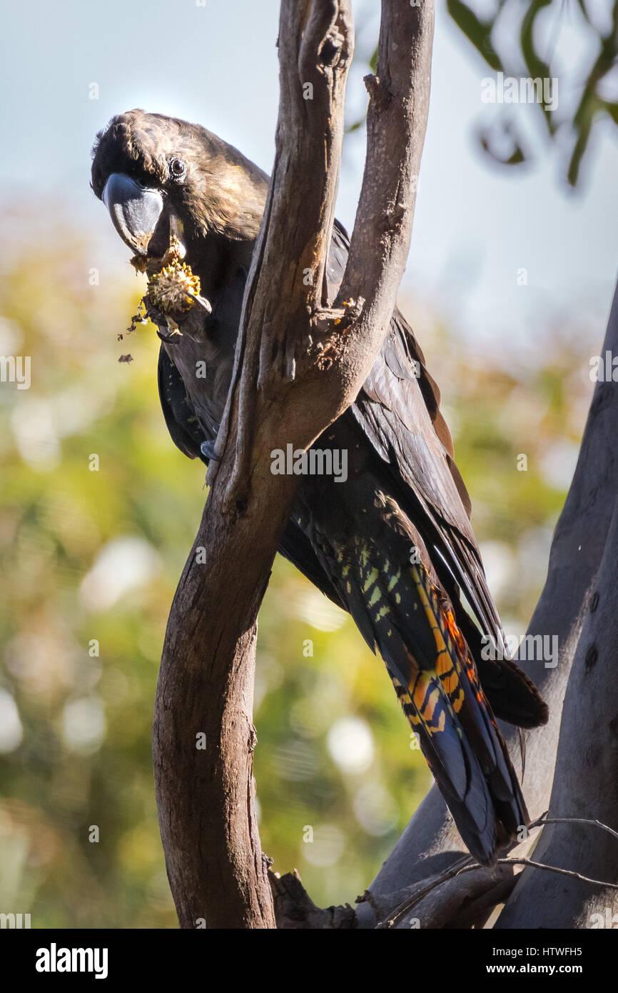 Glossy Black-cockatoo (Calyptorhynchus lathami) - Kangaroo Island, South Australia - Stock Image