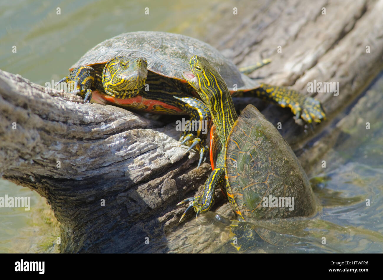 Western Painted Turtles competing for a basking site. - Stock Image