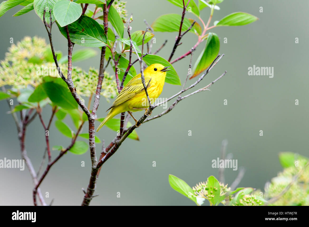 A singing Yellow Warbler (Dendroica petechia), Montana - Stock Image