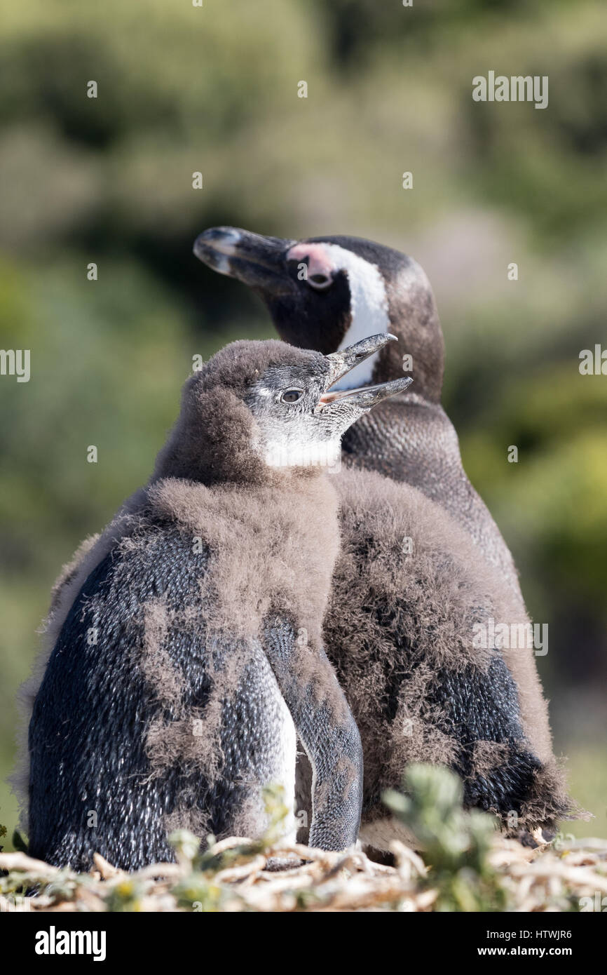 Baby penguin - African penguin chick and adult , Spheniscus Demersus, Boulders Beach, Cape Town, South Africa - Stock Image