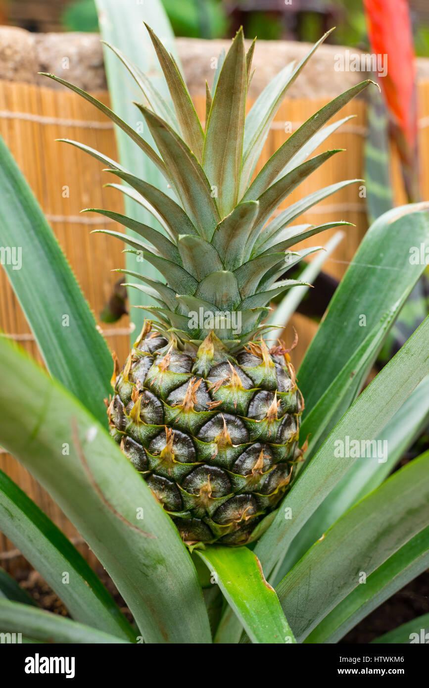 Ornamental Pineapple Stock Photos Ornamental Pineapple Stock