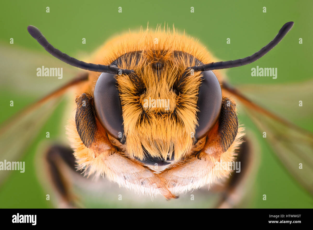 Extreme magnification - Solitaire Bee Megachilidae Stock Photo