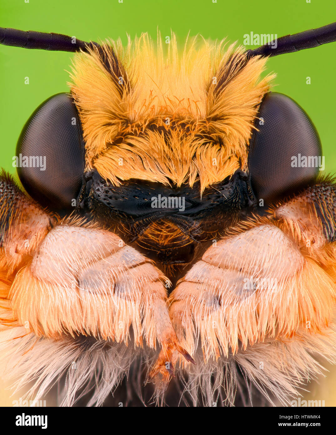 Extreme magnification - Solitaire Bee Megachilidae - Stock Image