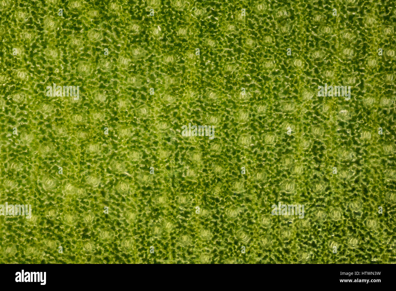 Extrem magnification - Stomatas in a green leaf - Stock Image