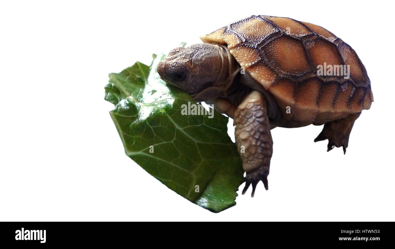 Baby Turtle Eating Stock Photos & Baby Turtle Eating Stock