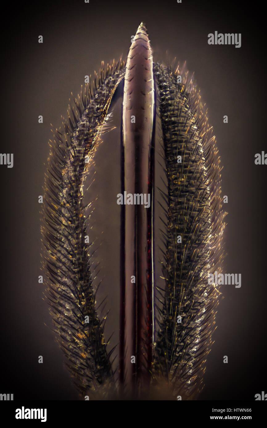Extreme magnification - Black wasp stinger details - Stock Image