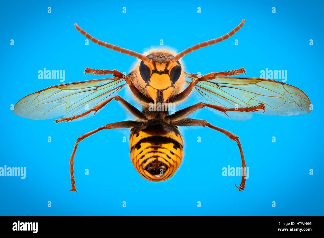 Extreme magnification - Giant Wasp anatomy - Stock Image