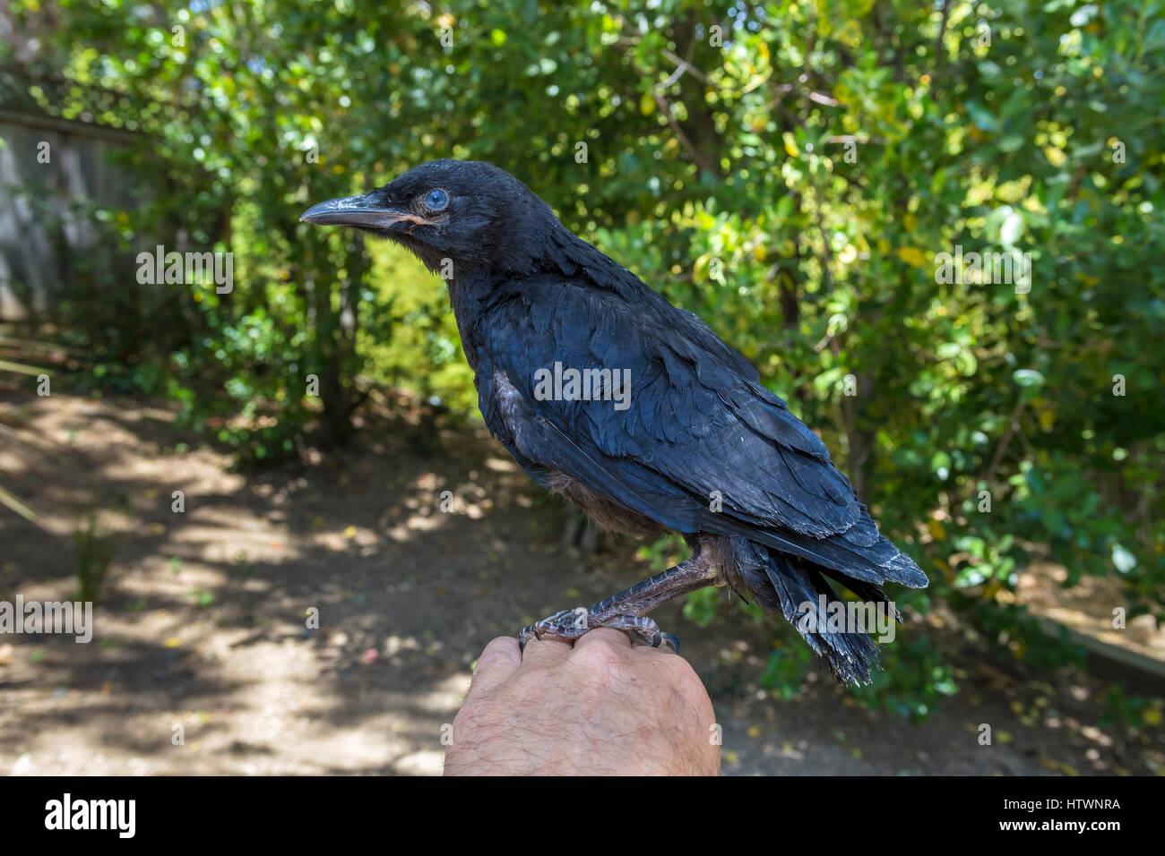 American crow, fledgling crow, juvenile crow, injured bird ...