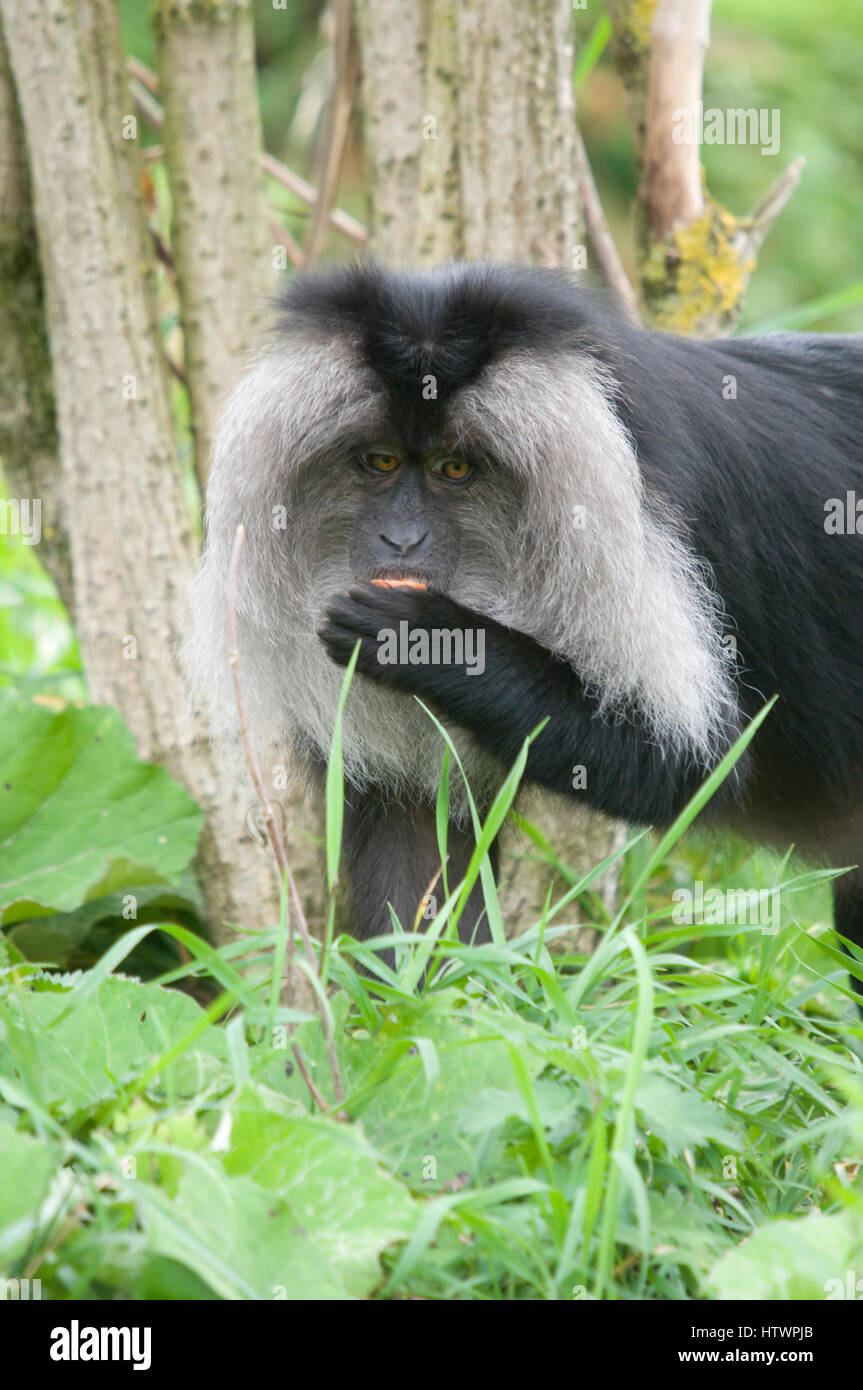 Lion-tailed macaque - Macaca silenus - Stock Image