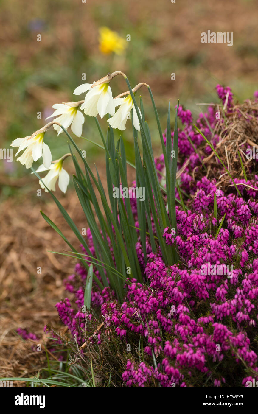 Narcissus moschatus growing with Erica carnea 'Myretoun Ruby' at The Garden House, Buckland Monachorum, - Stock Image