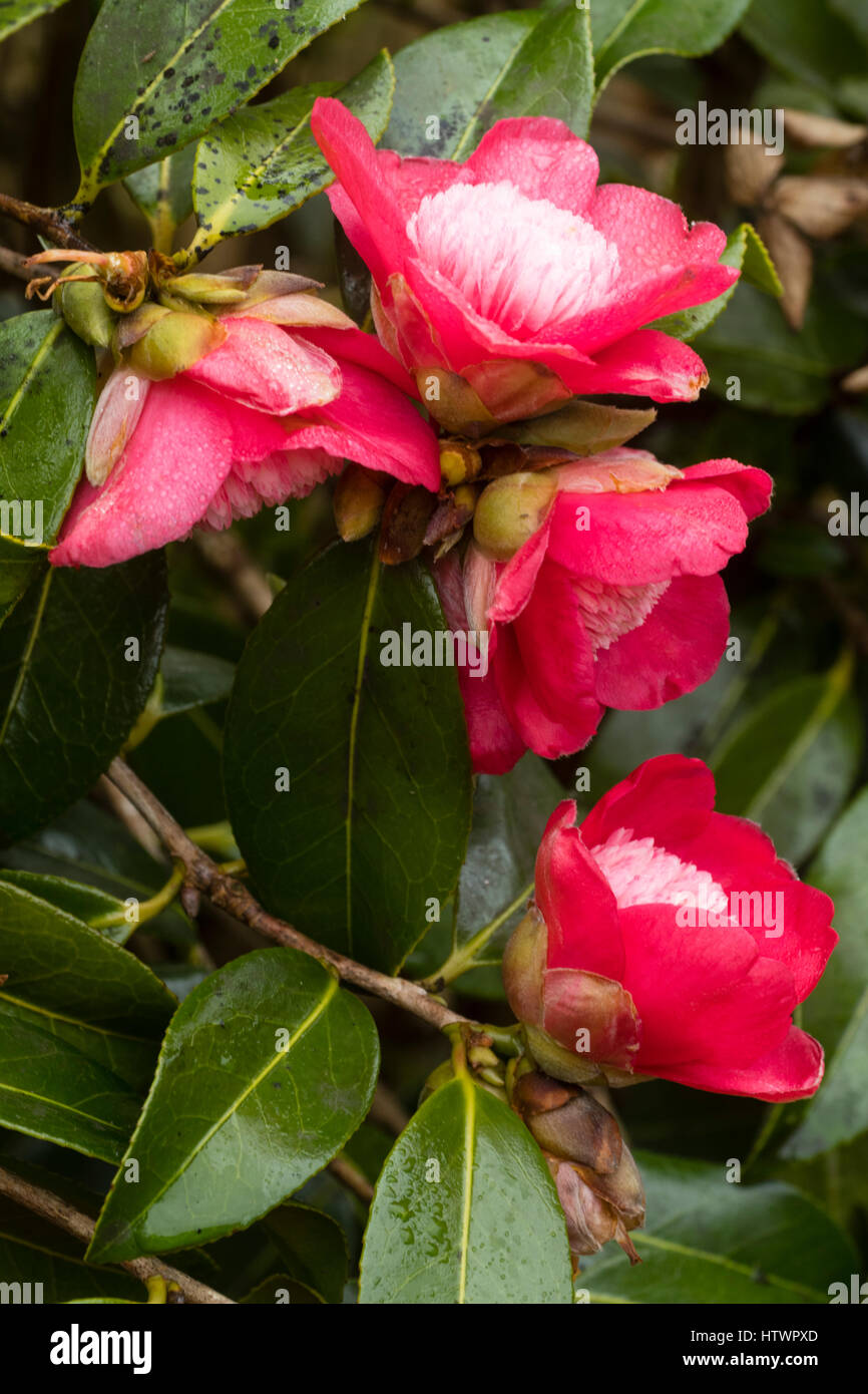 White centred red-pink flowers of the anemone centred evergreen shrub, Camellia japonica 'Bokuhan' - Stock Image