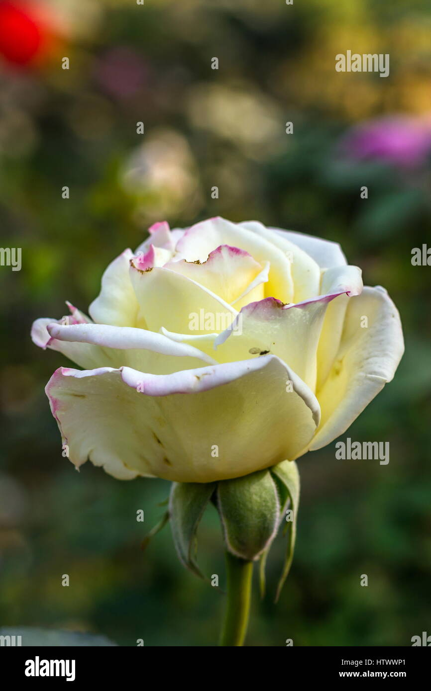 Early morning beautiful rose flower garden dew on roses with early morning beautiful rose flower garden dew on roses with awesome colors and verity with closes look around fifty of verity of roses in this gard izmirmasajfo