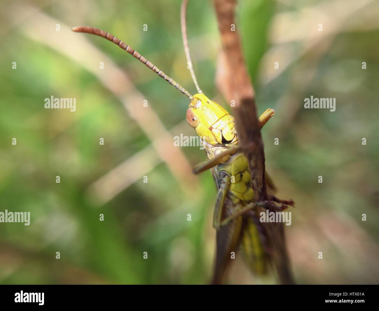 A grasshopper sitting on a twig - Stock Image