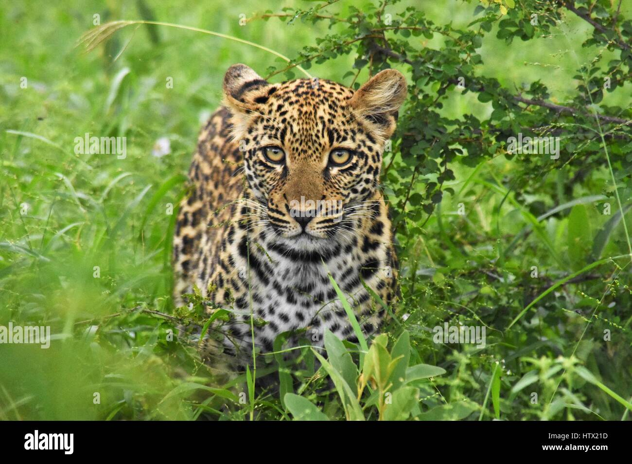 Baby leopard in the brush South Africa - Stock Image
