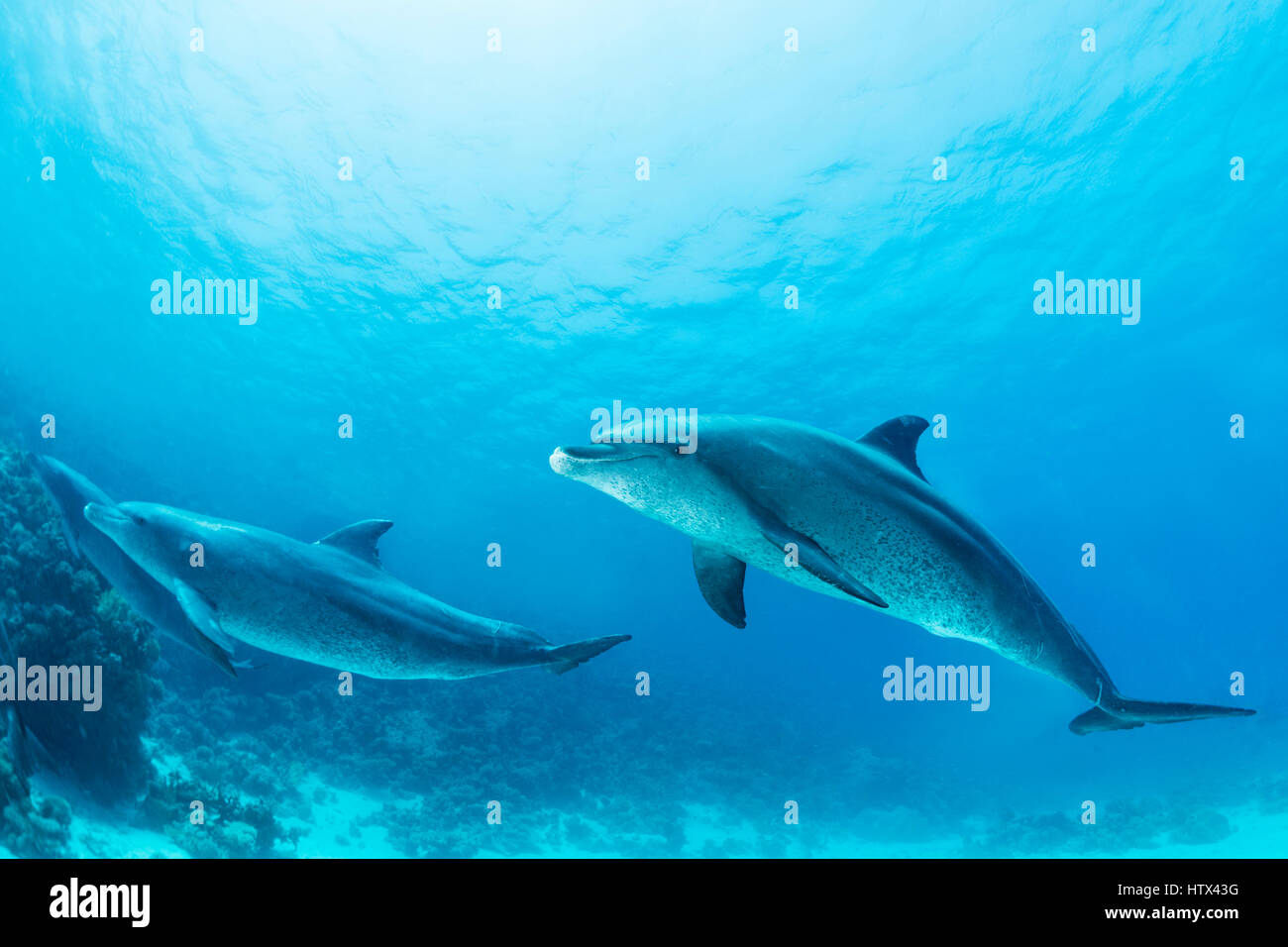 Bottlenose dolphins (Tursiops truncatus), Red Sea, Egypt - Stock Image