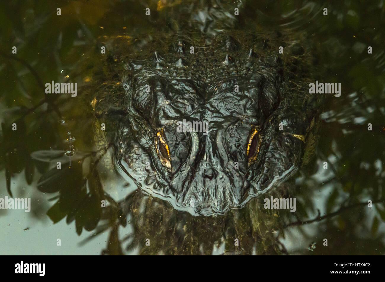 Primeval Vision Alligator - Stock Image