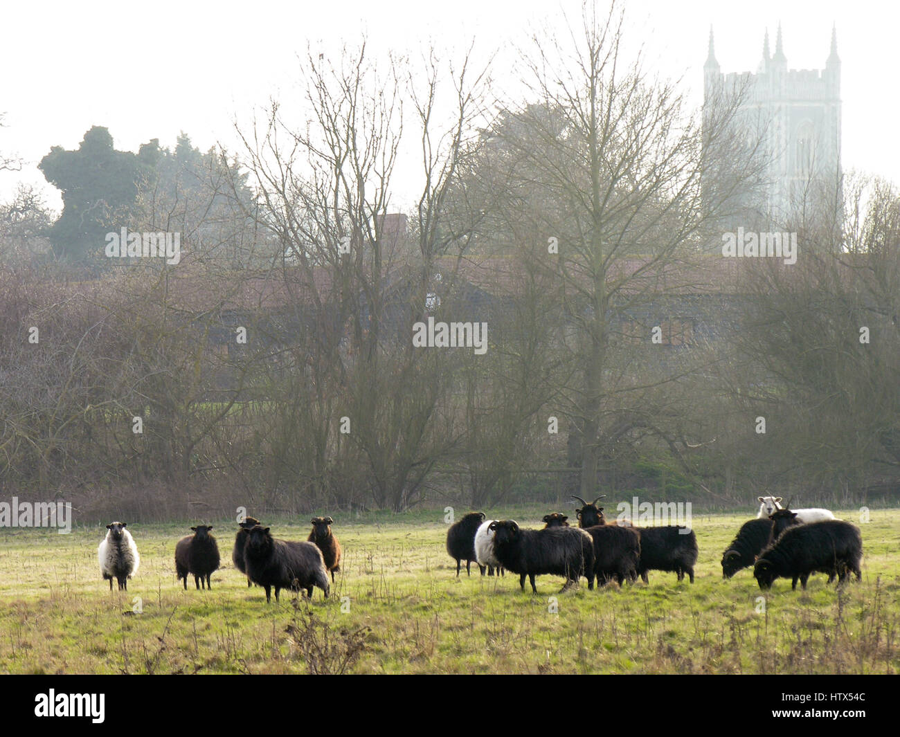 A group of curious sheep in front of the distant church of Dedham Stock Photo