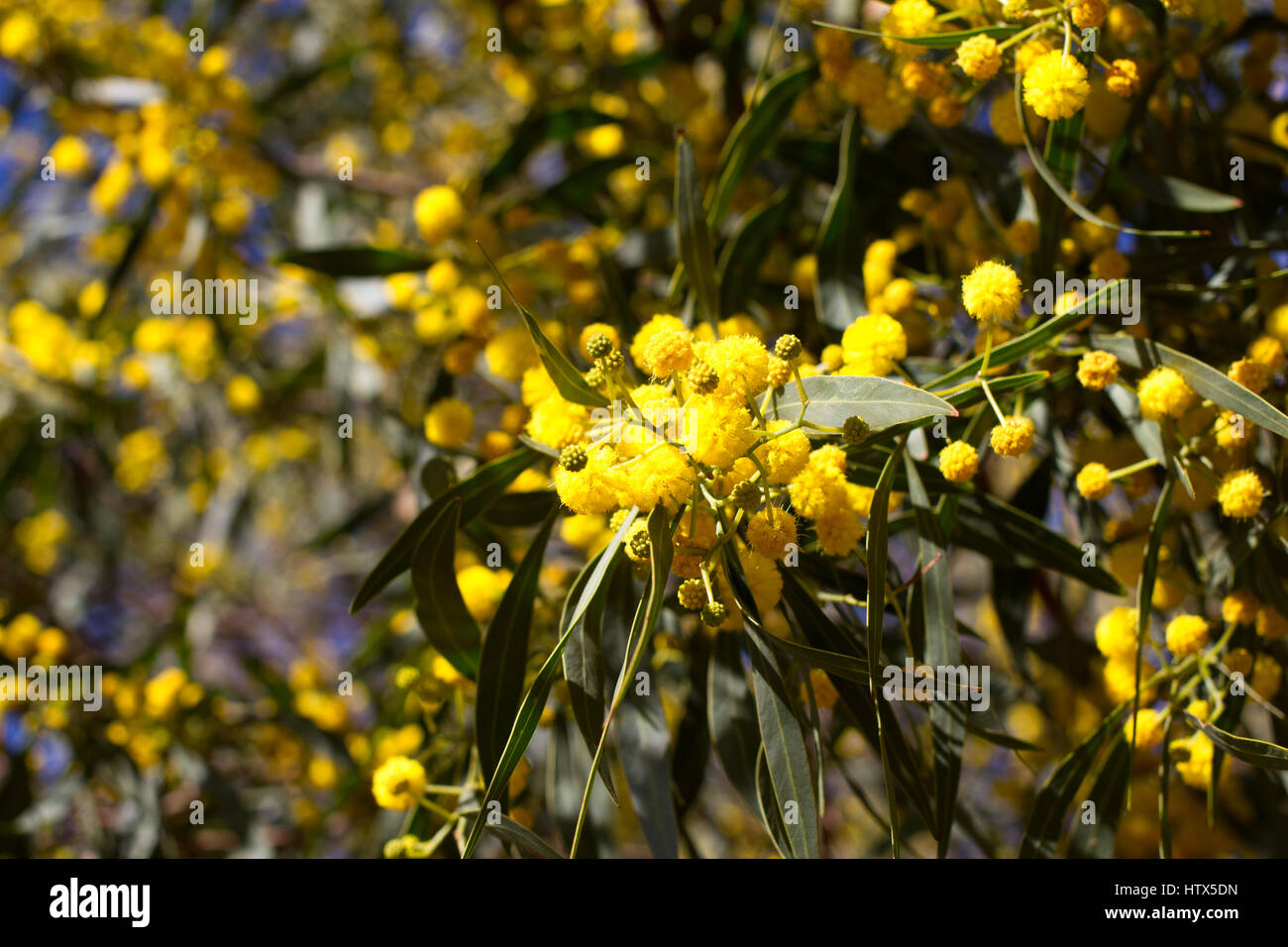 Yellow ball of mimosa flowers woman s day 8 march stock photo yellow ball of mimosa flowers woman s day 8 march mightylinksfo