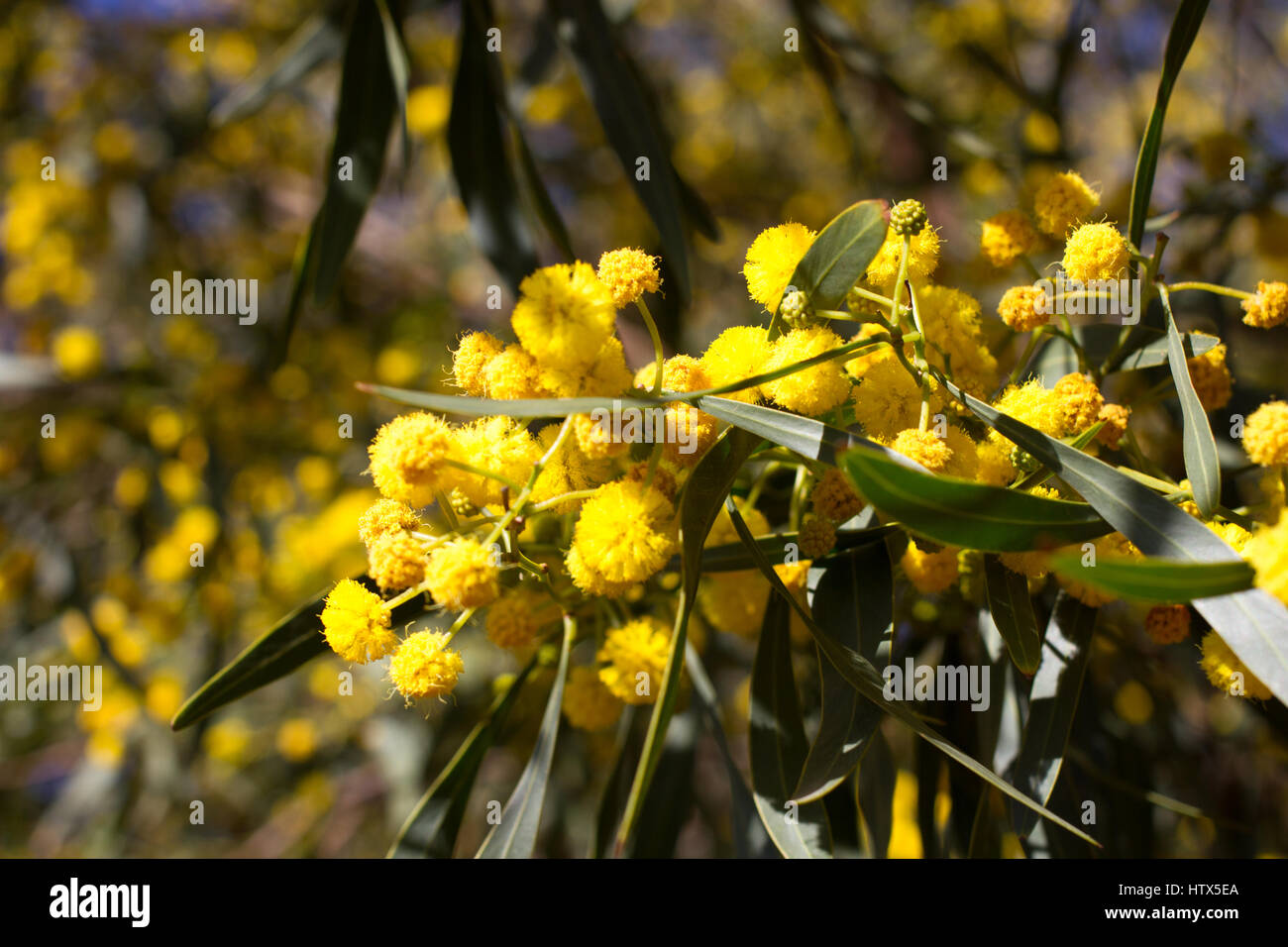 Yellow mimosa plant stock photos yellow mimosa plant stock images yellow ball of mimosa flowers woman s day 8 march stock image mightylinksfo