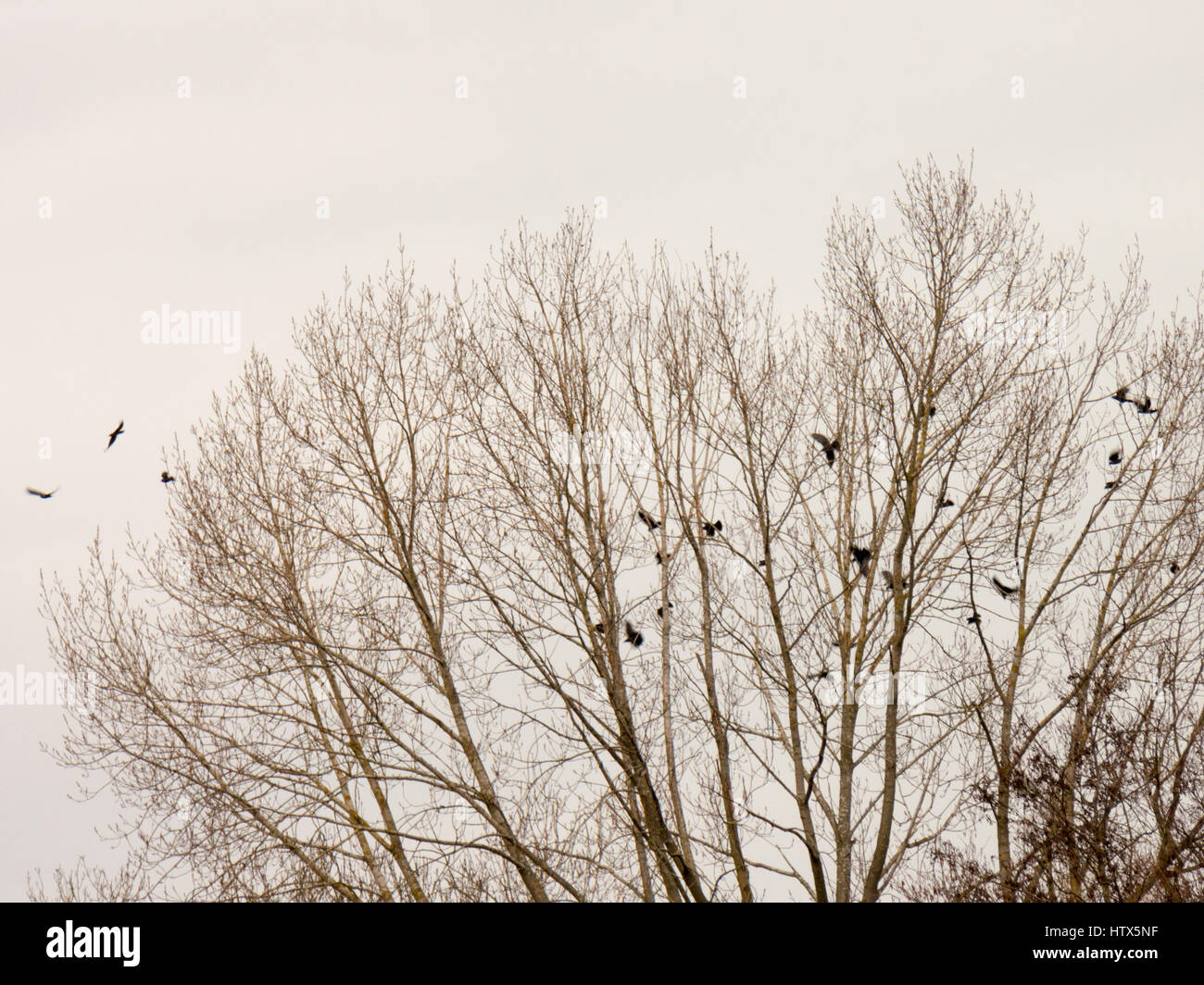 A murder of crows departing together from a dead tree - Stock Image
