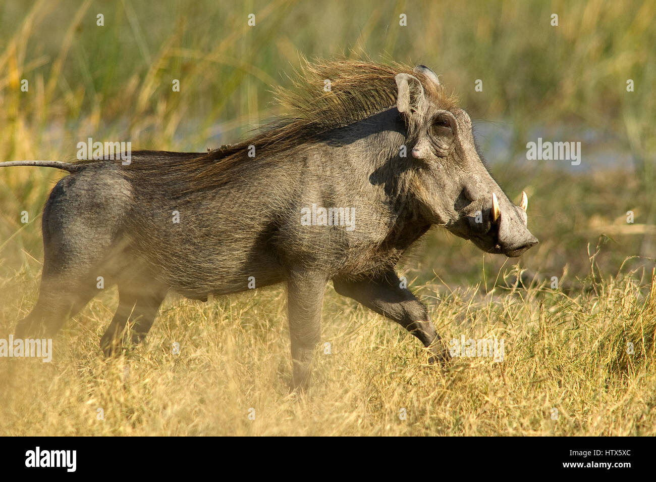 Warthog at Deception Valley, Central Kalahari National Park, Botswana - Stock Image