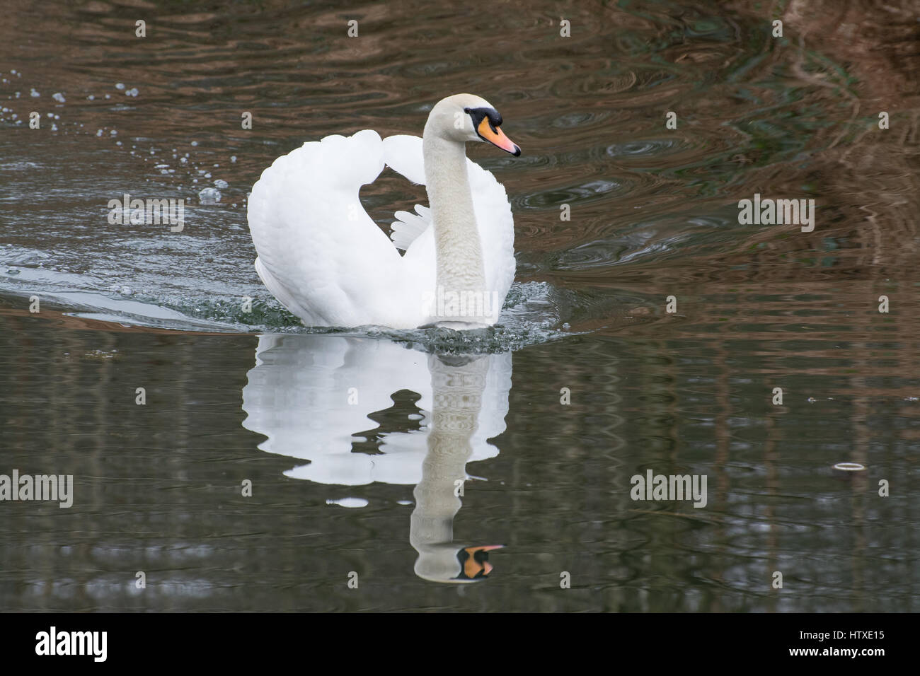 Mute swan (Cygnus olor) swimming on canal Stock Photo