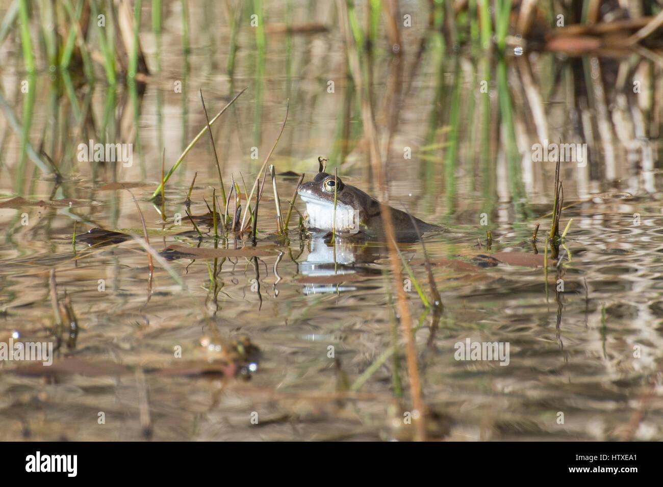 Male frog (Rana temporaria) croaking in breeding pond in Spring - Stock Image