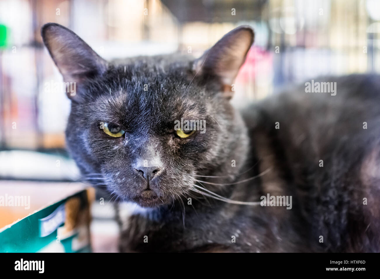 Unhappy dirty angry black cat face closeup in cage in store - Stock Image