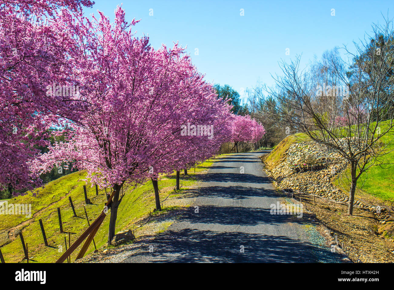 Cherry Blossom Trees Along Private Lane - Stock Image