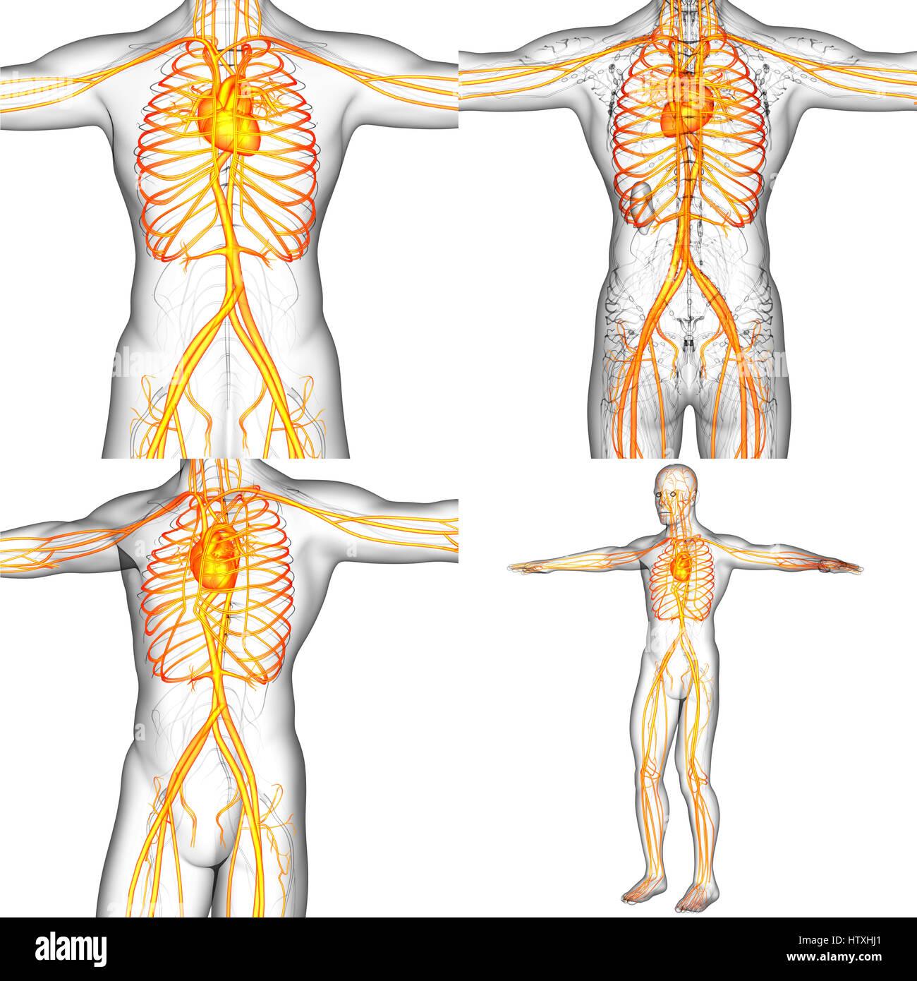 Human Vascular System Stock Photos Human Vascular System Stock