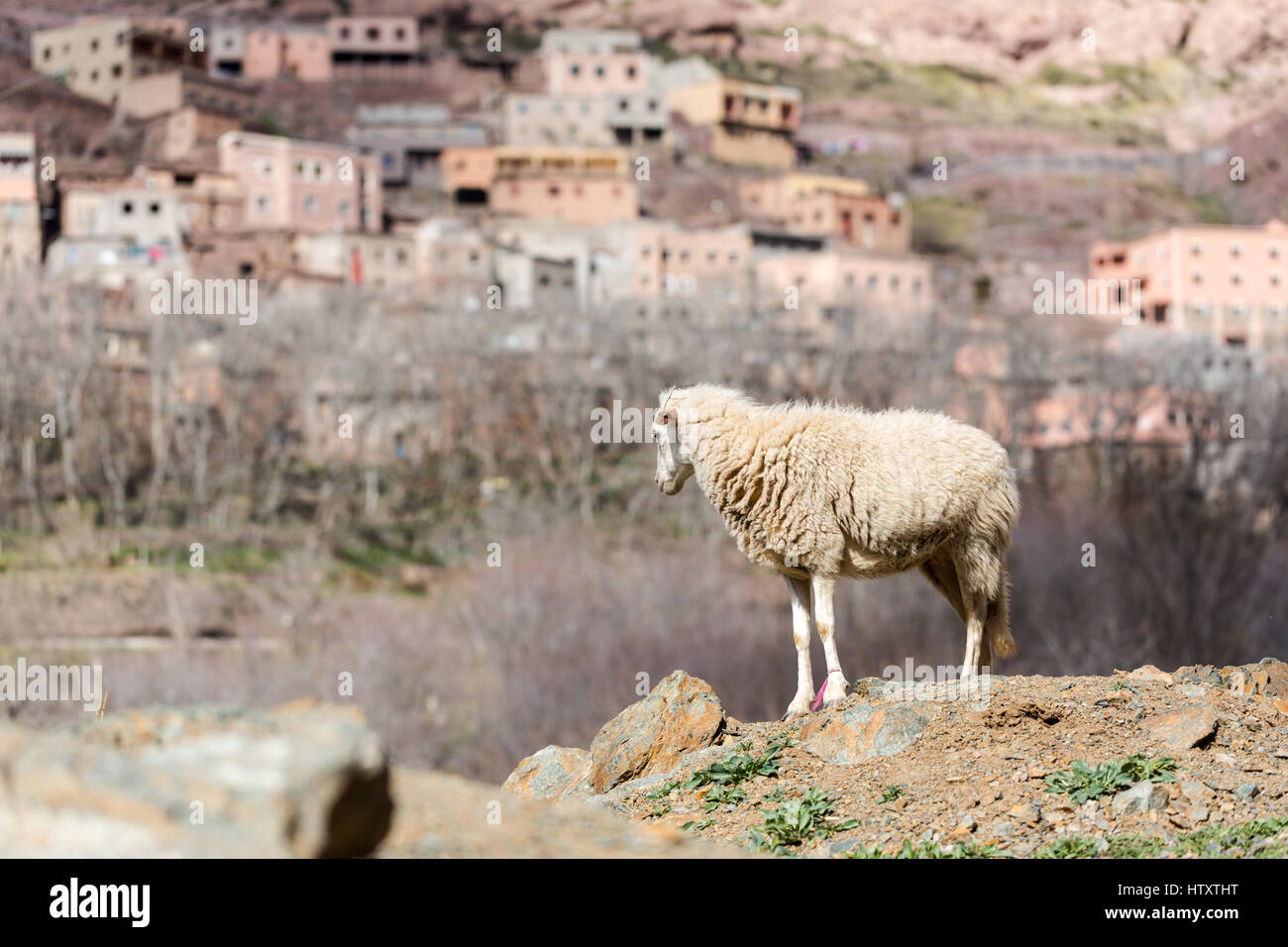 Young new sheep standing on rock edge in Atlas mountains in background berbers village - Stock Image