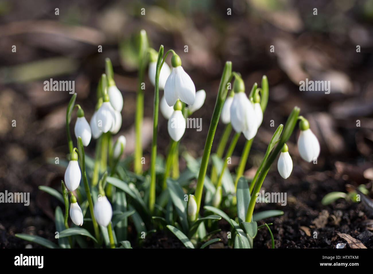 Group of Galanthus rizenhensis in flower - Stock Image