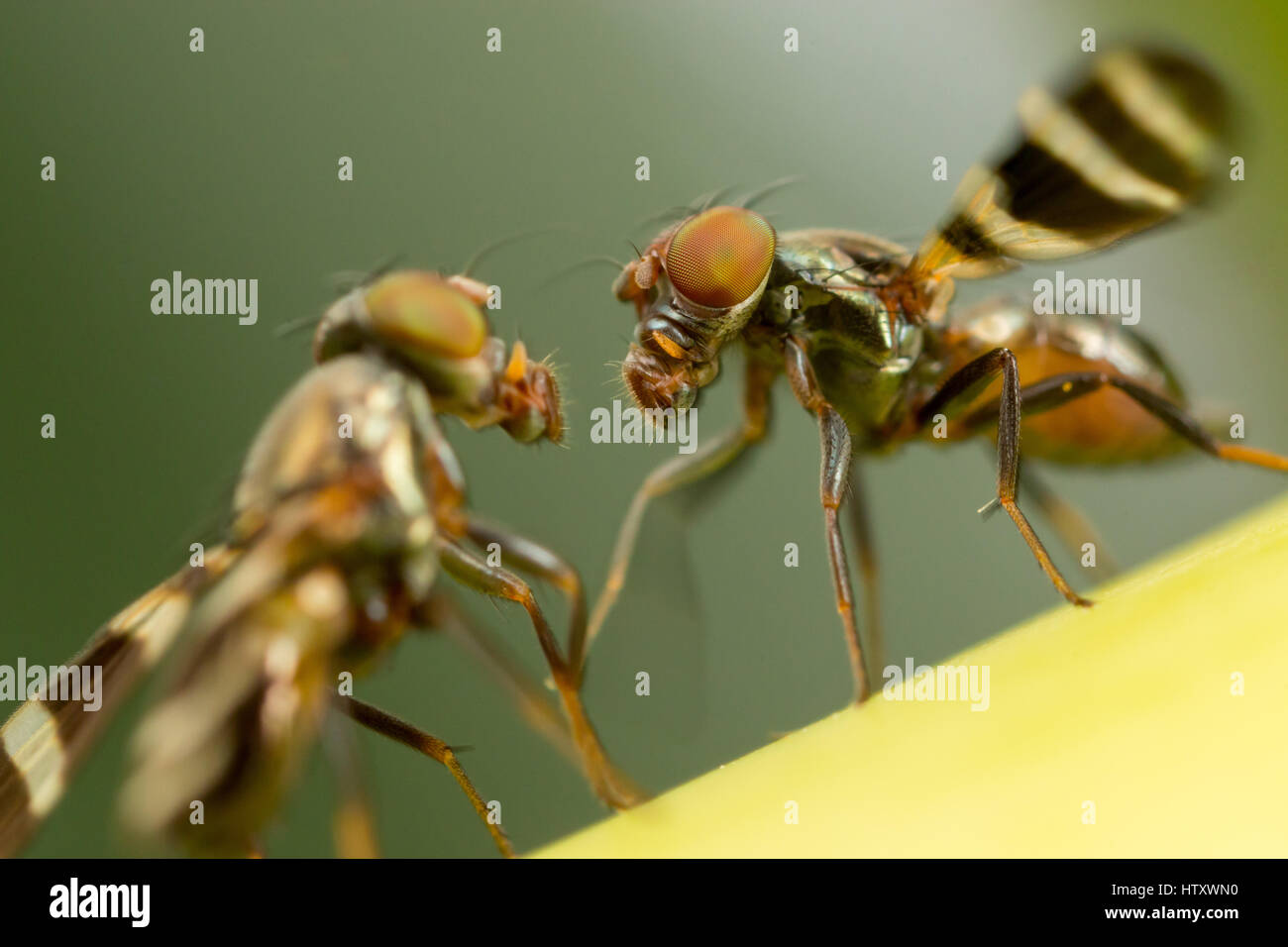 images of fruit flies.html