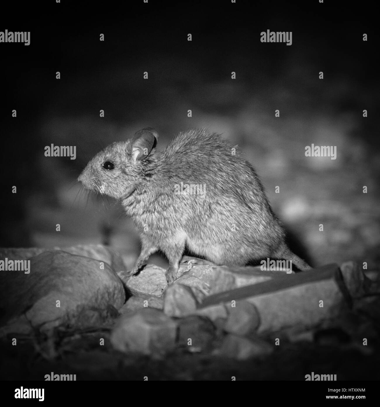 Greater Stick-nest Rat (Leporillus conditor) - Stock Image