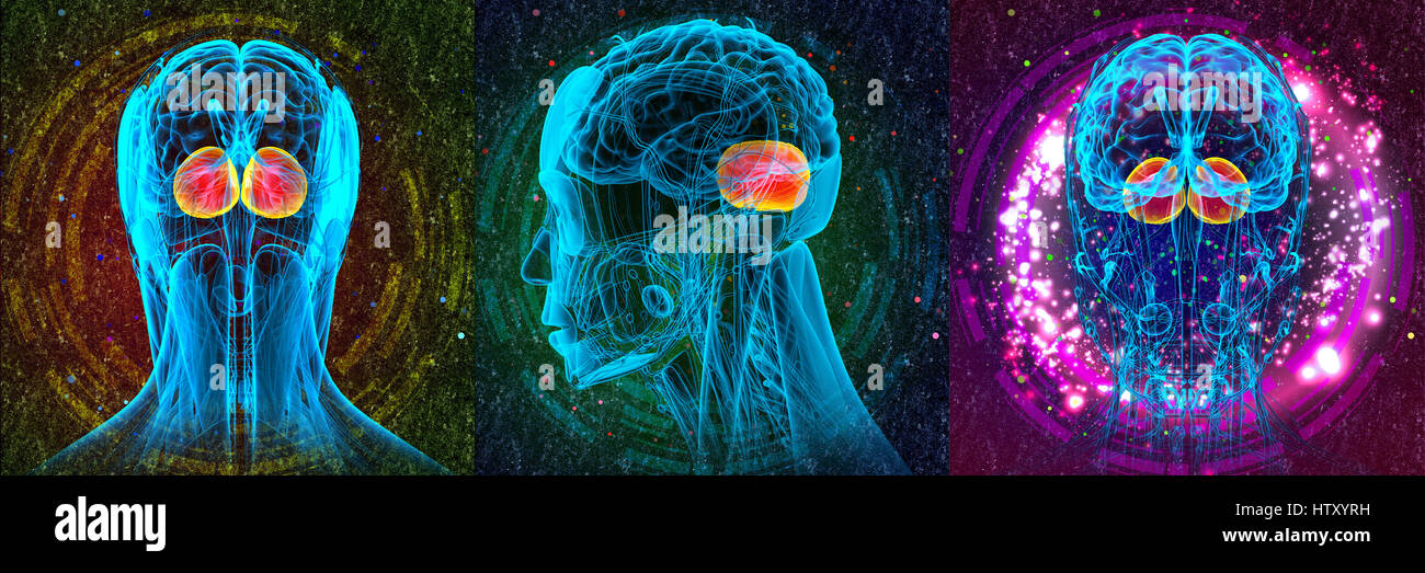 3D rendering medical illustration of the human brain cerebrum - Stock Image