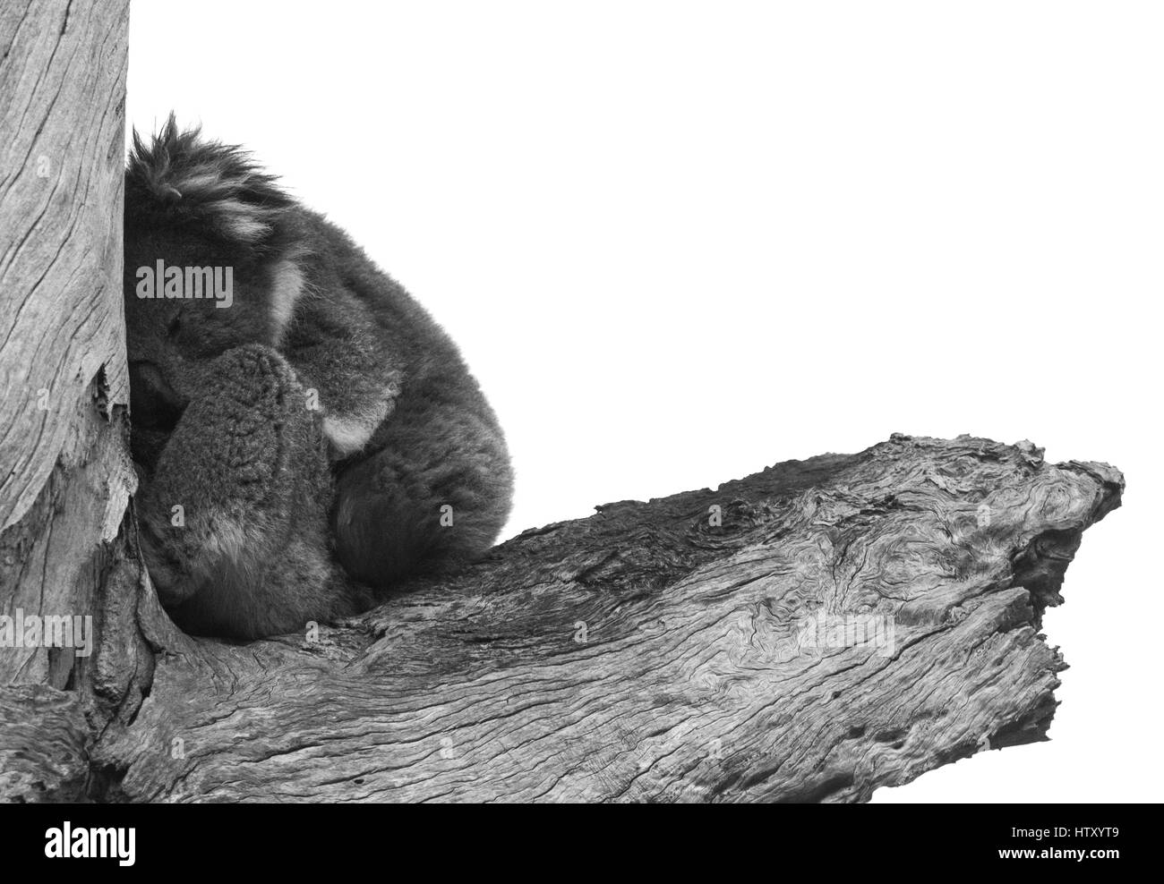 Koala (Phascolarctos cinereus) Stock Photo
