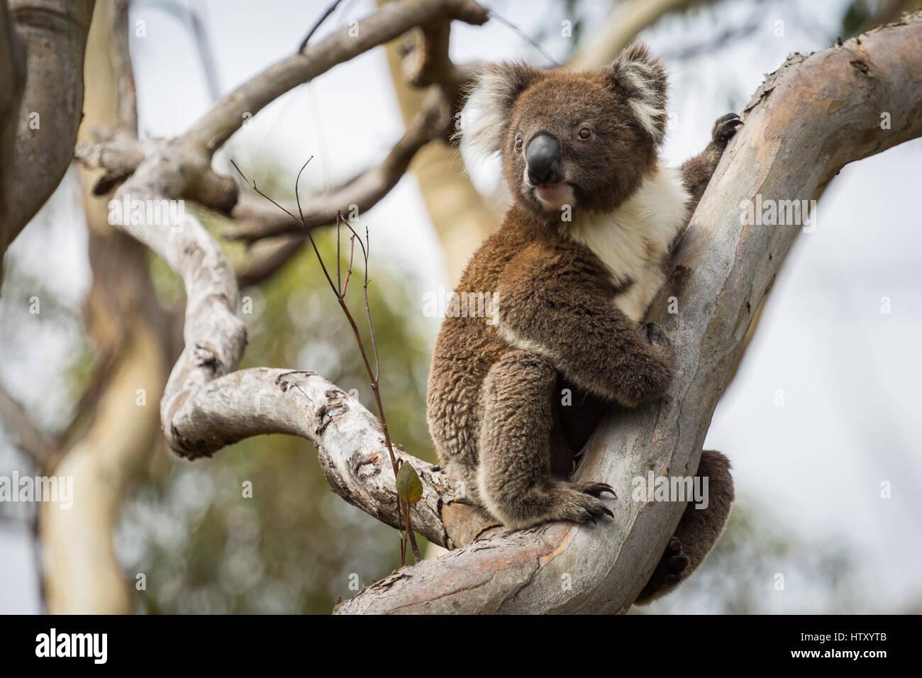 Koala (Phascolarctos cinereus) - Stock Image