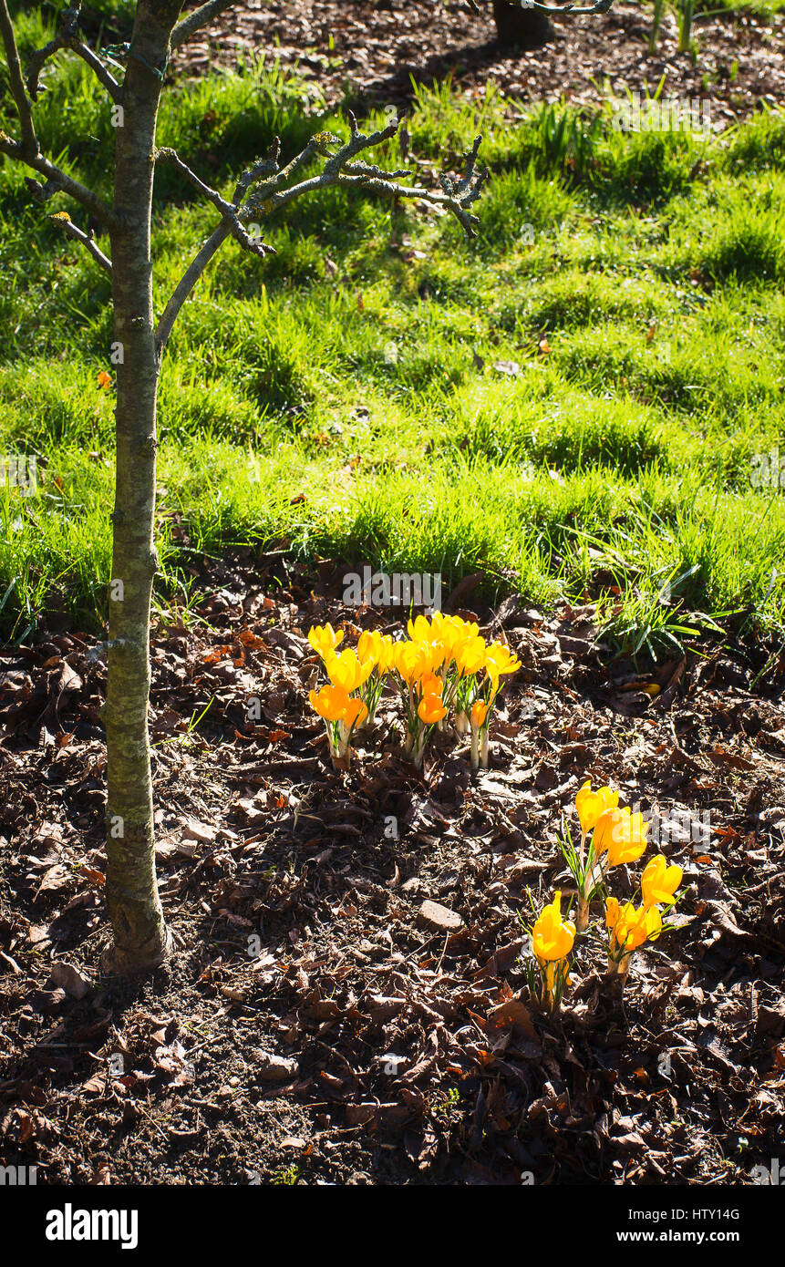 Yellow crocuses growing and flowering in a small garden in February in UK - Stock Image