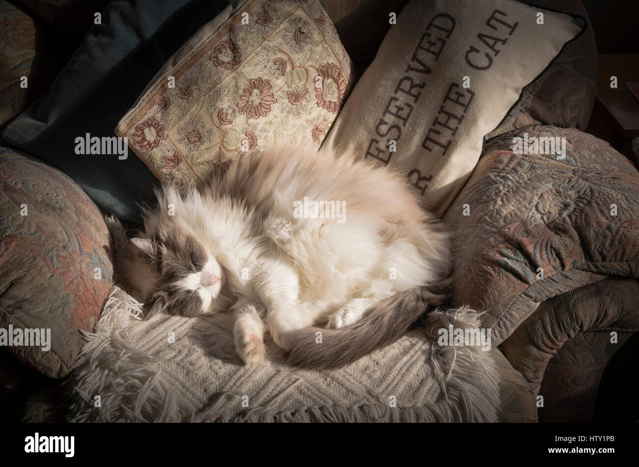 A mature Ragdoll cat asleep in a most comfortable soft easy chair in UK - Stock Image