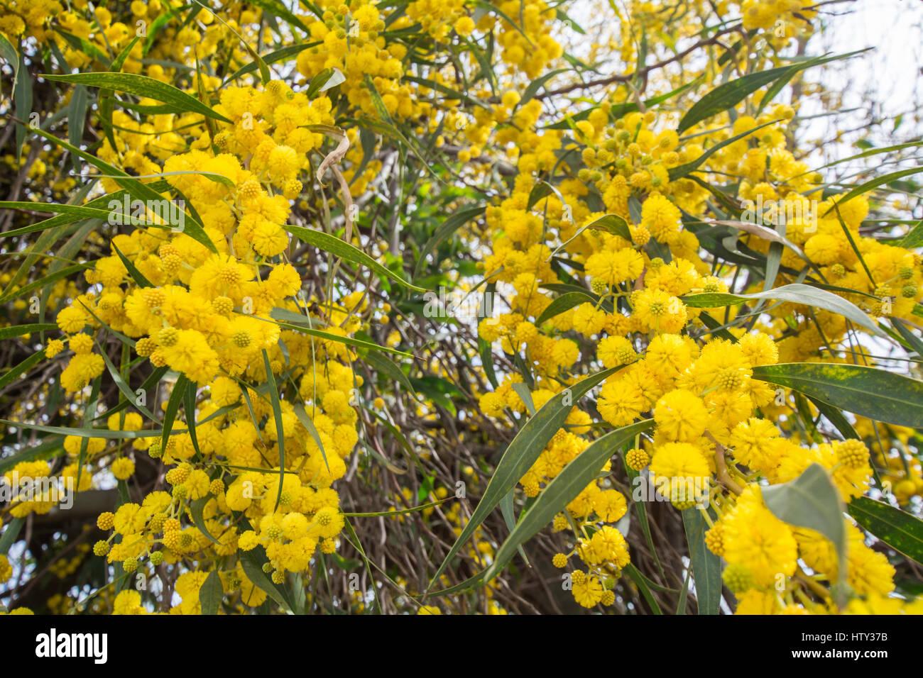 Acacia Dealbata Flower Silver Wattle Blue Wattle Or Mimosa Stock