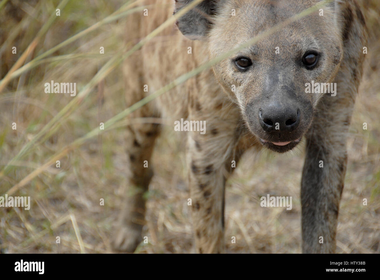 Spotted hyena, Kruger National Park, South Africa Stock Photo