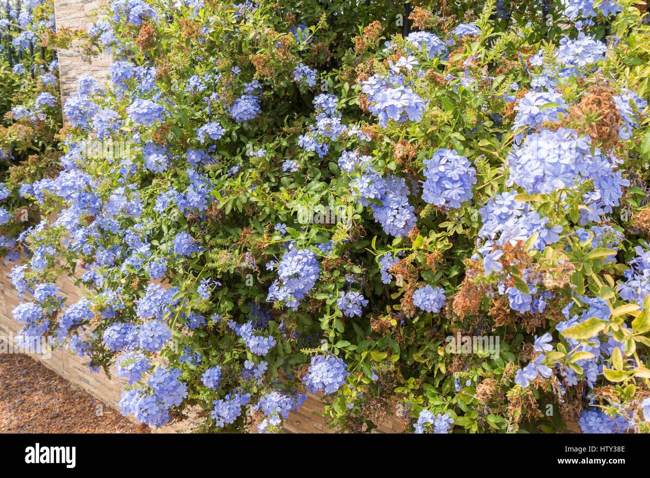 Blue plumbago leadwort flowers stock photos blue plumbago leadwort blue flowers plumbago auriculata cape leadwort blue jasmine stock image izmirmasajfo