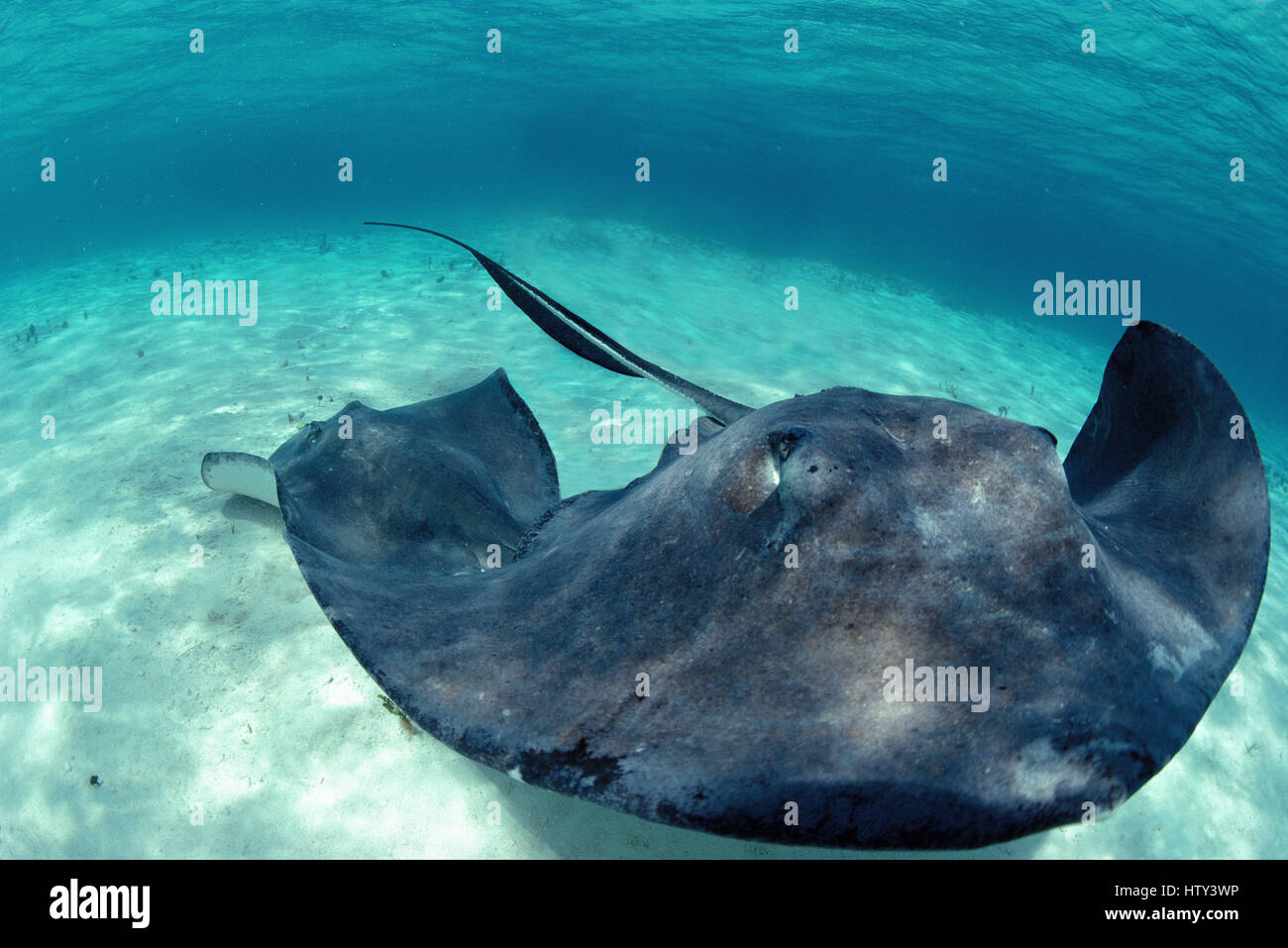 Southern Stingrays (Dasyatis americana) at 'Stingray City', a popular tourist site, Bahamas - Caribbean - Stock Image