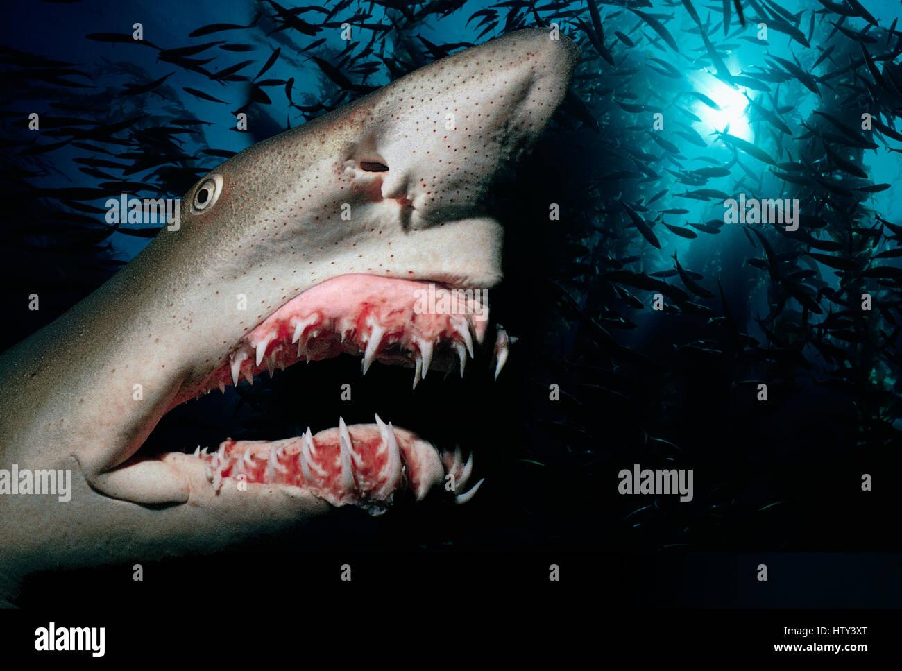 Sand Tiger Shark (Eugomphodus taurus) presents itself at night - Caribbean Sea. Image digitally manipulated. - Stock Image