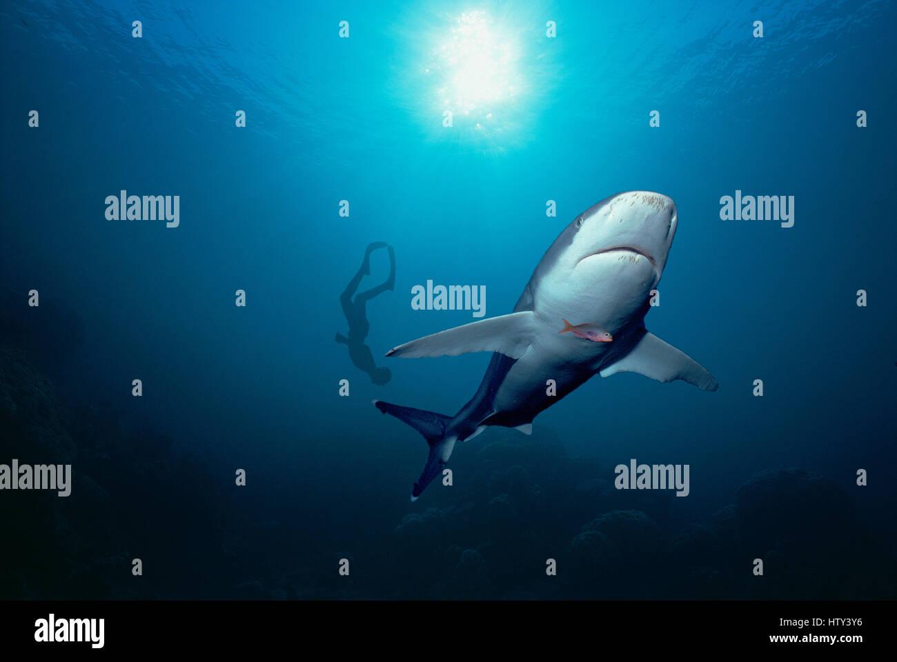 Silvertip Shark (Carcharhinus albimarginatus) and diver. Cocos Island, Costa Rica - Pacific Ocean. Image digitally - Stock Image