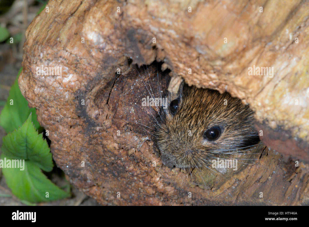 Bank Vole(Clethrionomys  glareolus) peering out of a hollow log in North Norfolk. - Stock Image
