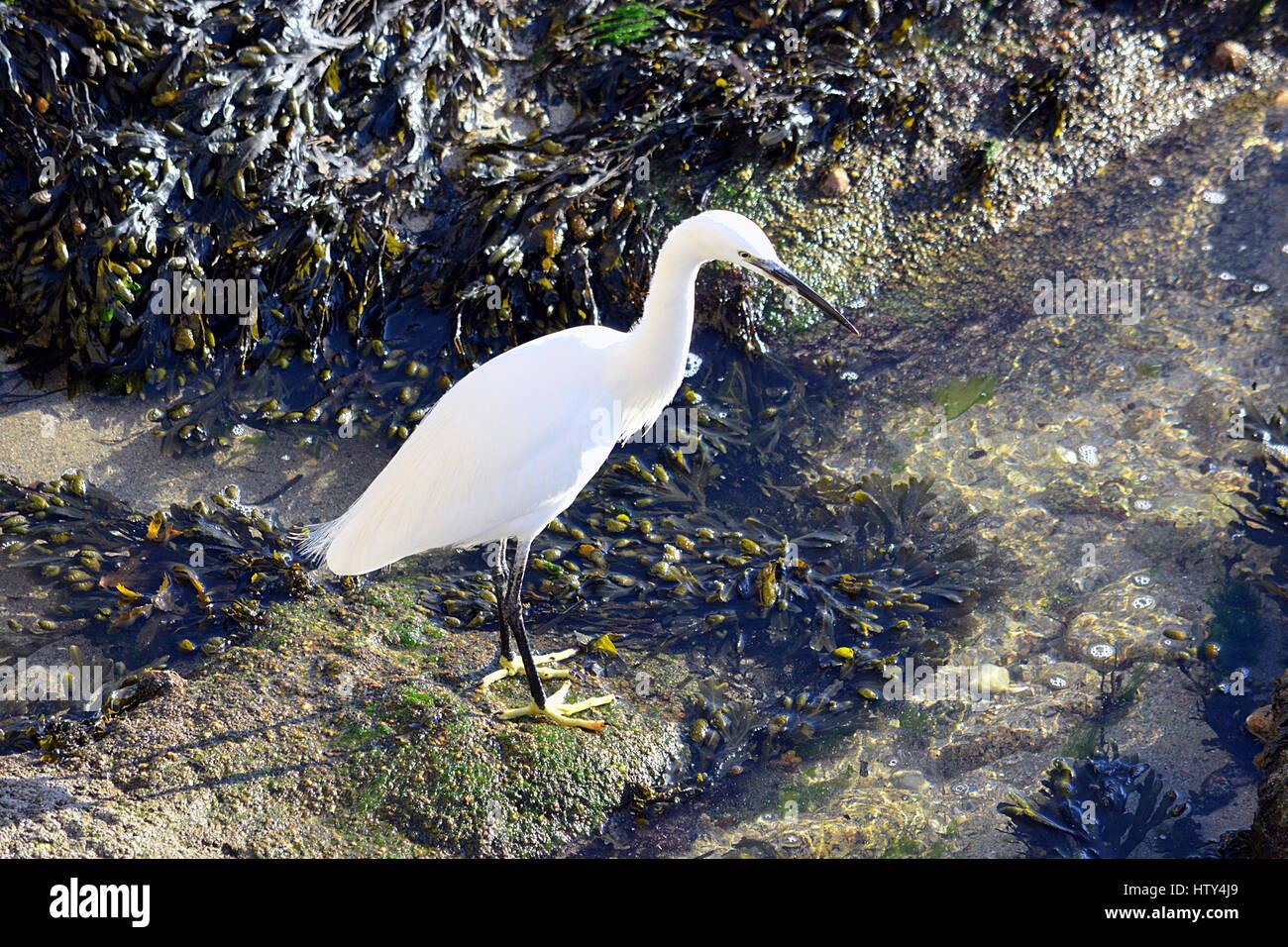 Aigrette au bord de l'eau . - Stock Image
