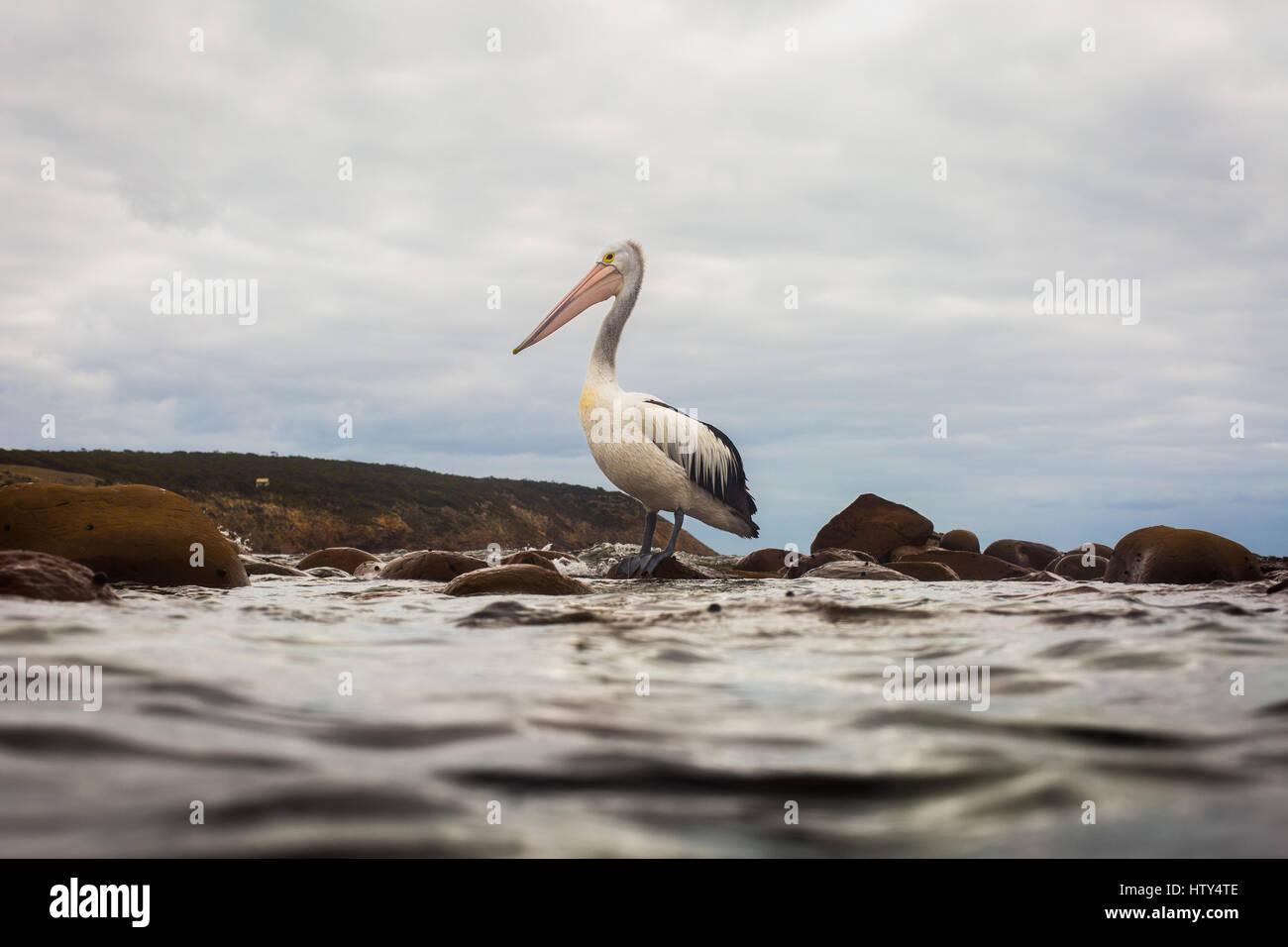 Pelican (Pelecanus conspicillatus) - Stock Image