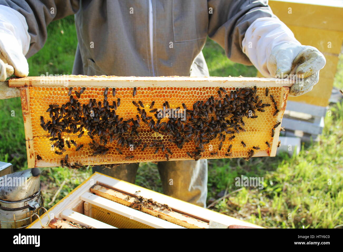 Beekeeper holds frame with honeycomb - Stock Image